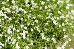 White flower bush Stock Image