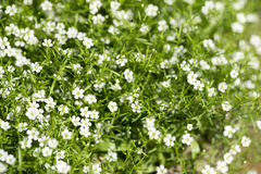 White flower bush. Texture background Stock Image