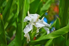 White flower butterfly Lily. Stock Photos