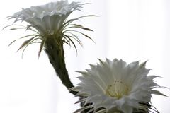 White flower cactus blossoms, isolated, close-up, unique, plant, botany, seeds stock image