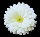 White flower calendula. the black isolated background with clipping path Stock Images