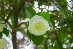 White flower of Camellia japonica, known as Japanese camellia, or tsubaki in Japanese stock photography
