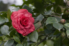 Red flower of camellia Stock Image