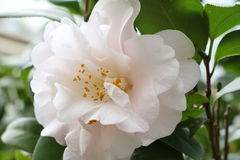 White flower,Camellia tea flower Royalty Free Stock Images