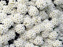 White flower carpet Stock Photography