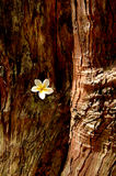 White flower caught in tree trunk. White flower caught in big tree trunk in Botanical Garden royalty free stock photography