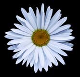 White  flower chamomile on the black isolated background with clipping path.  Closeup no shadows. Garden  flower. Nature Royalty Free Stock Images