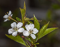 White flower Cherry Royalty Free Stock Photos