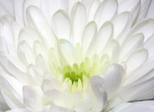 White flower of chrysanthemum. The close up of white flower of chrysanthemum Royalty Free Stock Image