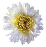 White flower chrysanthemum, garden flower, white  isolated background with clipping path.  Closeup. no shadows. yellow centre. Stock Photo