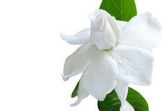 White flower and clipping path, Gardenia jasminoides. Royalty Free Stock Images