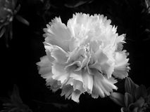White flower. Close up in black and white Royalty Free Stock Photography