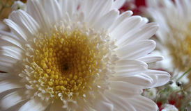 White flower. Close up of a white flower with is center in yellow petals, with a background out of focus Stock Images