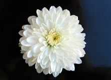 White flower close up daisy gerbera royalty free stock images