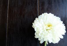 White flower close up daisy gerbera on wood stock photos
