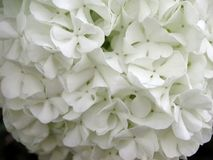Viburnum opulus white flowers stock images
