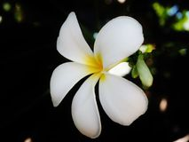 White flower. Close up flower white with yellow in middle Royalty Free Stock Photo