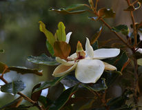 White flower. A close view of a white flower and hid leaves stock images