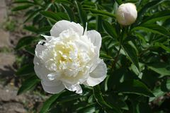 White flower and closed bud of peony Royalty Free Stock Image