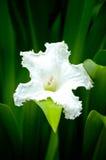 White flower. Closeup of a white flower Royalty Free Stock Photos