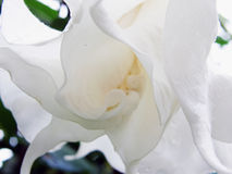 White flower. Closeup Stock Photography