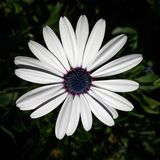 White flower. Closeup daisy osteospermum nature blooming flowerhead Stock Photography