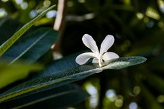 White Flower Closeup Flowering trees.  Royalty Free Stock Image