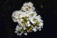 White flower clusters of fernleaf dropwort. In Oasaka Japan`s garden Stock Images