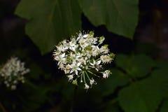 White flower clusters of fernleaf dropwort. In Oasaka Japan`s garden Stock Image