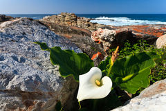 White flower at the coastline Royalty Free Stock Photography