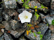 White flower Convolvulus arvensis Royalty Free Stock Image