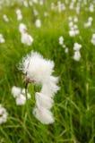 White flower of cottongrass (Eriohorum angustifolium) Royalty Free Stock Image