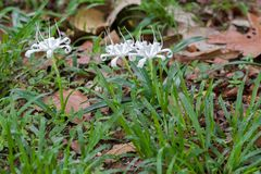 White flower of Crinum, also known as Crinum Lily, Cape Lily, Po Stock Images