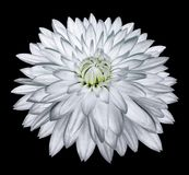 White flower dahlia on black isolated background with clipping path  no shadows. Closeup. Nature royalty free stock photography