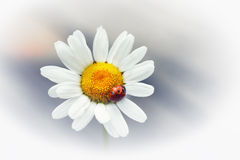 White flower daisy- camomile Royalty Free Stock Photography