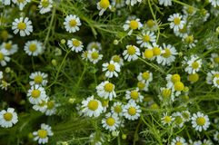 White flower daisy macro blossom. Green, spring, nature, background stock image