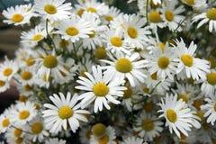 White flower daisywheel Royalty Free Stock Photos