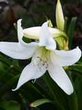 White Flower -Dalia- bows down with a Green leaves out focused Royalty Free Stock Photography