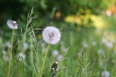 White flower of dandelion against a grass Stock Photography