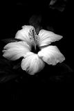 White Flower In The Dark Royalty Free Stock Photo
