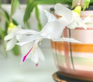 White flower of Decembrist Stock Images