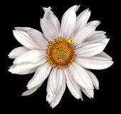 White flower of a decorative sunflower Helinthus isolated Royalty Free Stock Photos