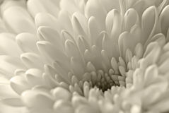 White flower. Detail of soft white flower royalty free stock photography