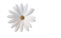A white flower dream Stock Images