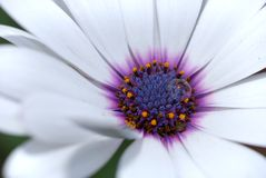 White flower with drop of water Royalty Free Stock Photos