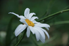 White flower. With a drops of rain royalty free stock image