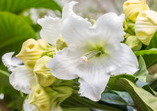 White Flower, Easter Lily Vine.  Stock Photos