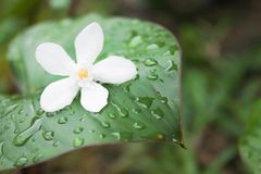 White flower fall on leaves in garden after raining royalty free stock images