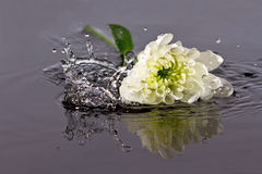 White flower fall in water Royalty Free Stock Photos