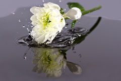 White flower fall in water Stock Images